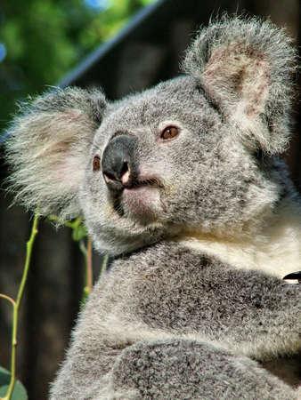 marsupial: Koala