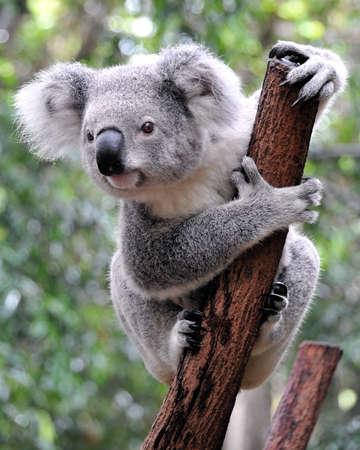 Curious koala Stockfoto