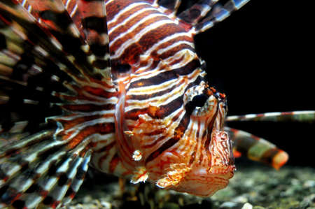 Lionfish close-up (Australia) Stock Photo - 6832284