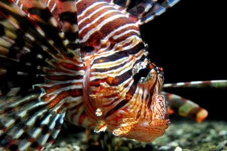 indopacific: Lionfish close-up (Australia)