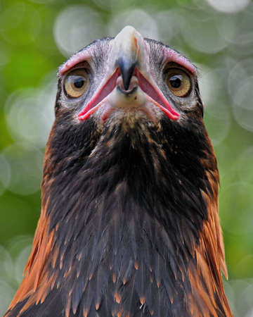 wedgetailed: Head of Wedge-tailed eagle