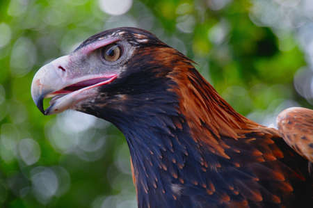Head of Wedge-tailed eagle