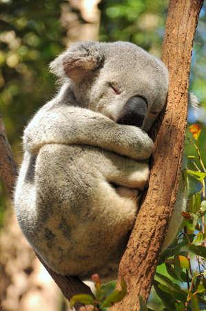 koalabeer: Slapende koala op een branch