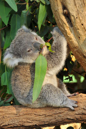 Koala joey eats eucalyptus leaf Stock Photo