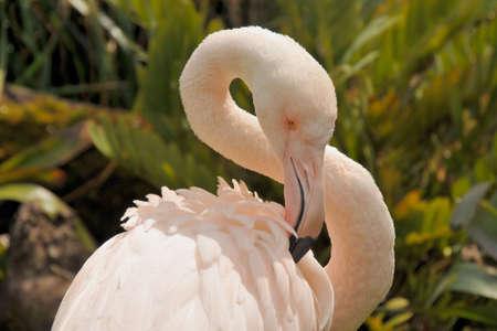 preening: Greater flamingo is preening feathers Stock Photo