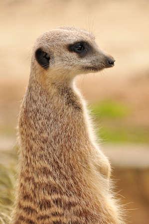 Meerkat (suricate) on guard