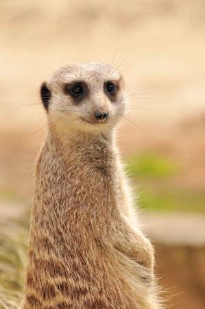 suricate: Meerkat (suricate) on guard