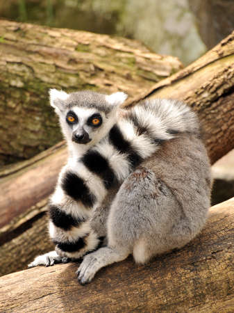 Ring-tailed lemur is sitting on a tree trunk photo