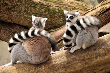 Two ring-tailed lemurs are sitting on a tree trunk photo