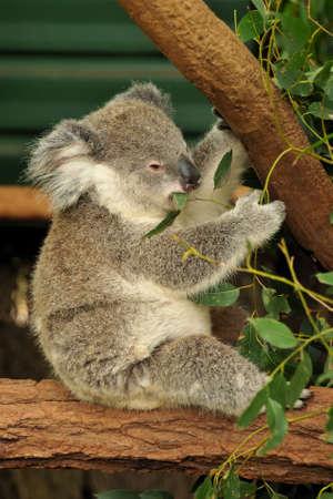 Koala joey eats eucalyptus leaf Stock Photo