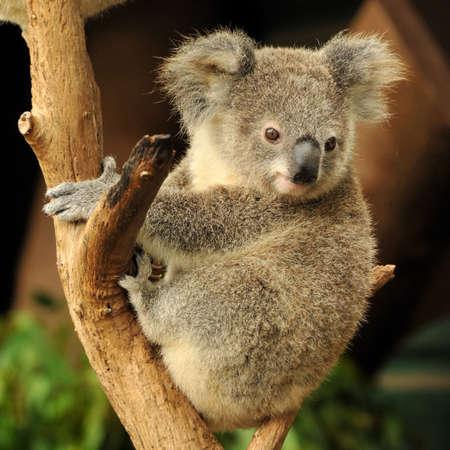 koalabeer: Koala joey zit op een tak