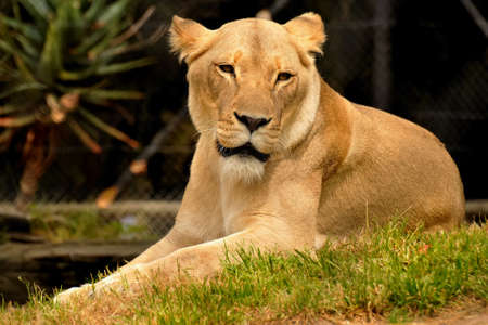Resting female lion in a grassy area photo