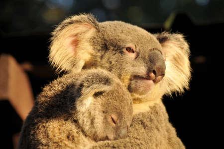 joey: Koala is holding her sleeping joey