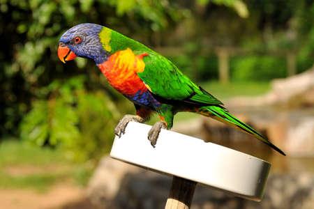 Rainbow lorikeet is sitting on a feeding plate