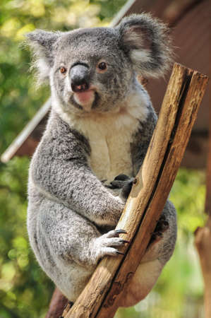 Koala is sitting on a branch Stock Photo