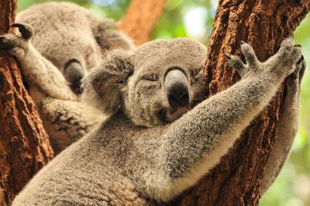 Koalas de couchage Banque d'images - 17291167