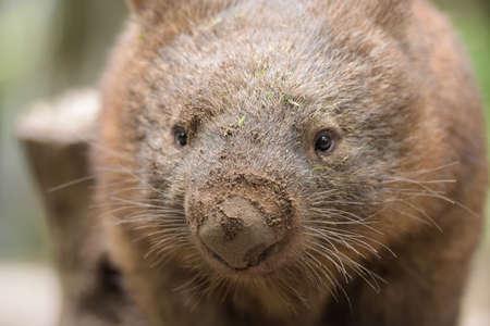wombat: Primer plano sobre un wombat común australiana