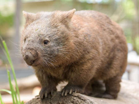 wombat: Australian common wombat stands on a log