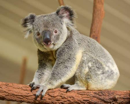 Curious koala looks at the camera