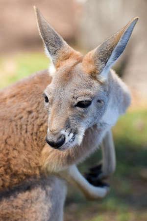 Red kangaroo close-up Stock Photo