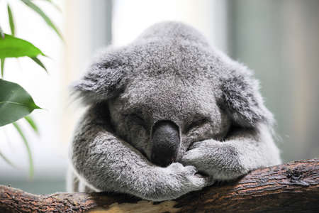 Sleeping koala closeup