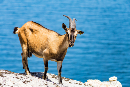 quadruped: A brown colored goat on stones with a blue lake in the background.