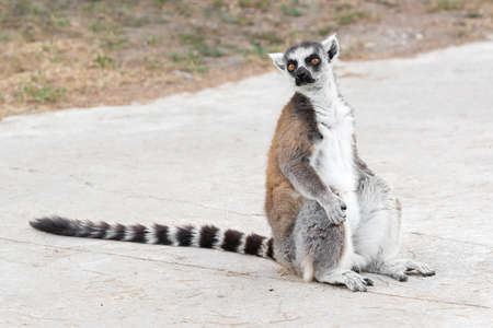 living organism: Close Up portrait Of Ring Tailed Lemur