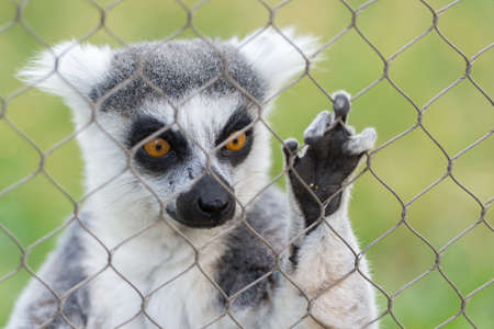 tailed: Close Up portrait Of Ring Tailed Lemur