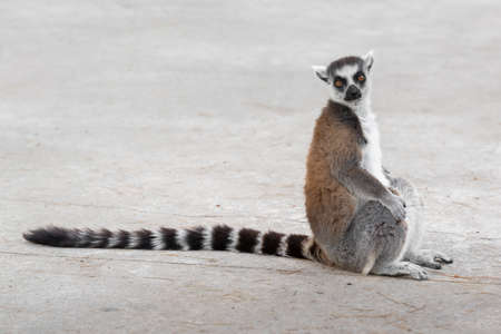 ring tailed: Close Up portrait Of Ring Tailed Lemur