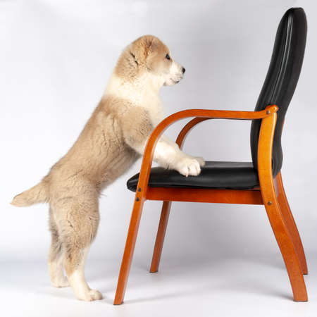 Alabai (shepherd) puppy and a chair gray background