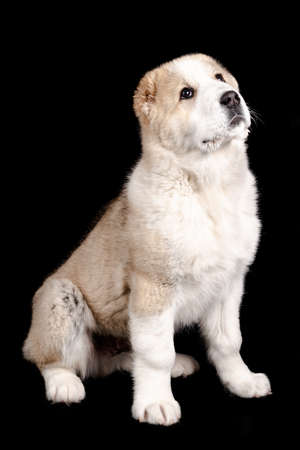 Alabai (shepherd) puppy sitting isolated white black background