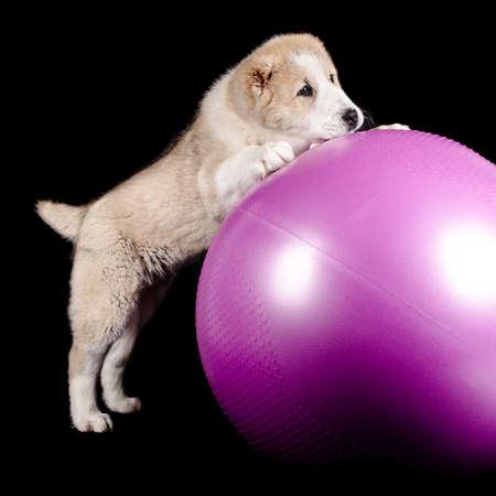 Alabai (shepherd) puppy and purple ball black background Stock Photo