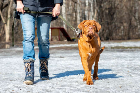 French mastiff (bordeauxdog) puppy on a leash uncropped ear stands winter snow