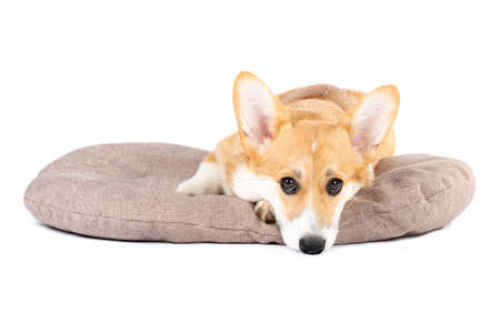 Pembroke Welsh Corgi puppy in a dog bed isolated white background