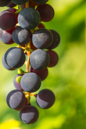 Red wine grape branch in a vineyard with shallow depth of field to create a natural and elegant image 版權商用圖片