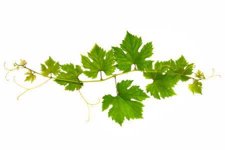 Fresh branch of grape vine on white background