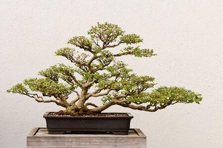Maceta árbol Bonsai Foto de archivo - 19313539