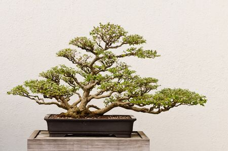 Potted Bonsai Tree photo