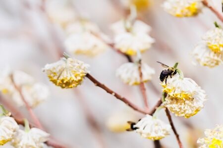 flowering plant: Carpenter ape impollinazione fioritura delle piante