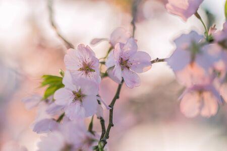 春に桜の花。
