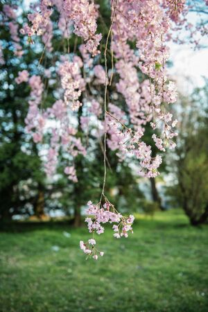 Cherry blossoms in the spring time. 版權商用圖片