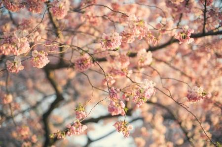 cerezos en flor: Un árbol de flor de cerezo.