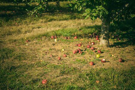 fallen fruit: Fuji apples growing on a tree. Stock Photo