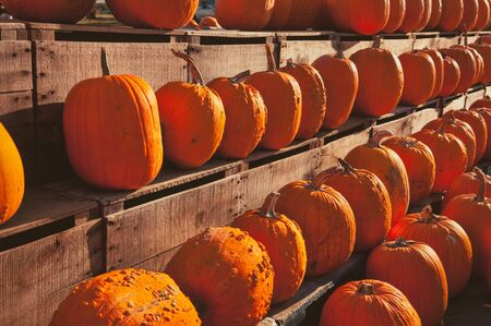 large group of items: Numerous pumpkins lined up for sale at a rural country store.
