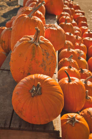 Numerous pumpkins lined up for sale at a rural country store.
