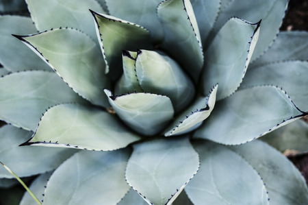 Blue Aloe Stok Fotoğraf