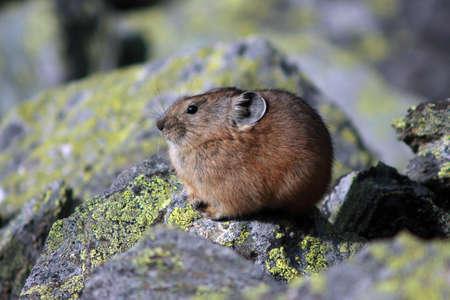 Pika in rocky habitat photo