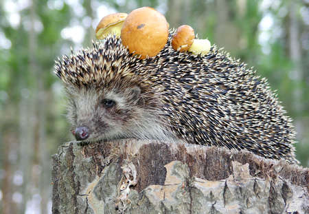 spiked hair: Hedgehog sitting on a stump with mushrooms.