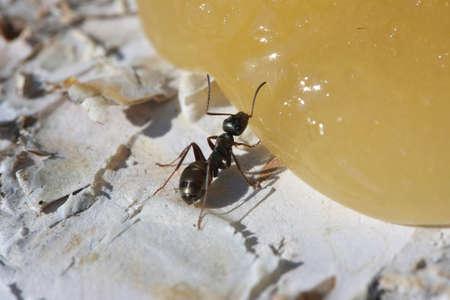 A small black ant eats honey. Stock Photo