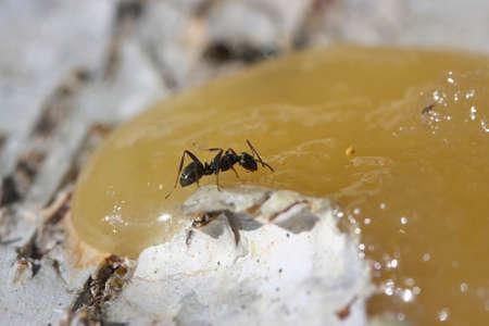 eats: A small black ant eats honey. Stock Photo